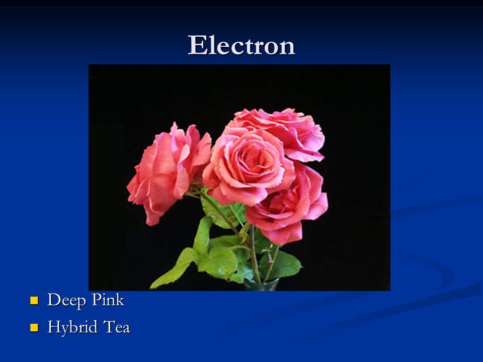 Electron Deep Pink Hybrid Tea