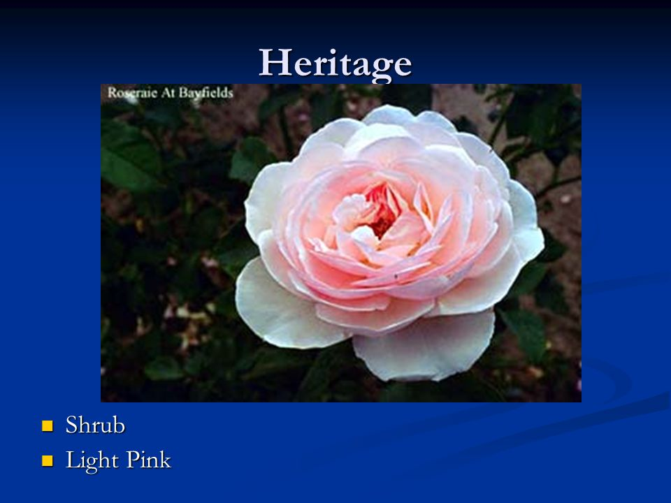 Heritage Shrub Light Pink