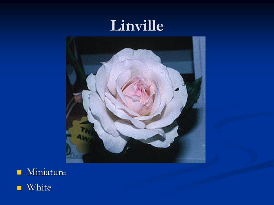 Linville Miniature White