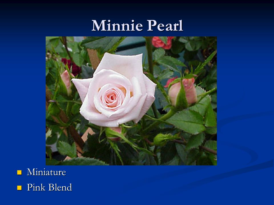 Minnie Pearl Miniature Pink Blend