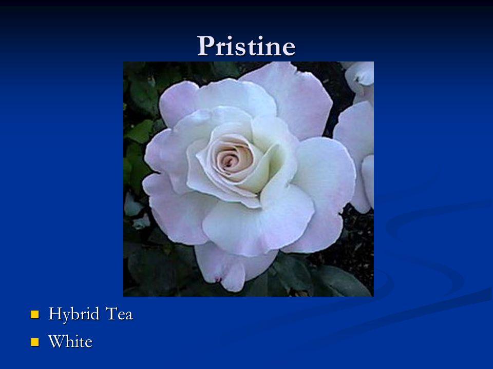 Pristine Hybrid Tea White