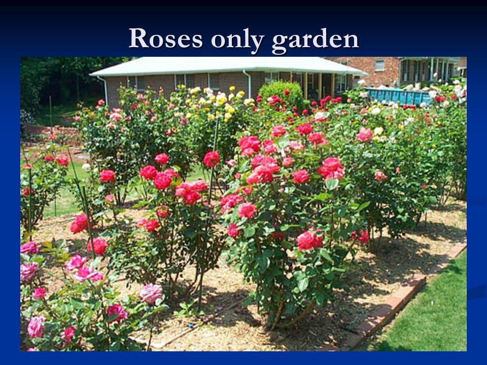 Roses only garden