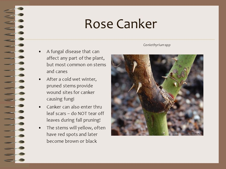 Rose Canker A fungal disease that can affect any part of the plant, but most common on stems and canes After a cold wet winter, pruned stems provide w
