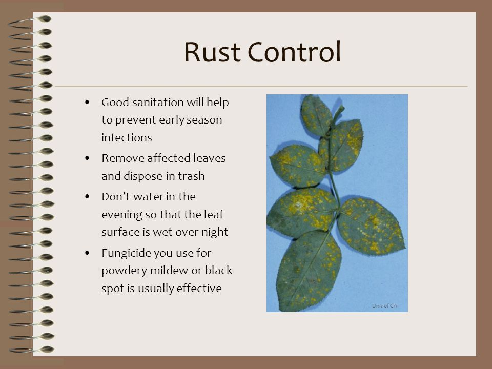 Rust Control Good sanitation will help to prevent early season infections Remove affected leaves and dispose in trash Don't water in the evening so th