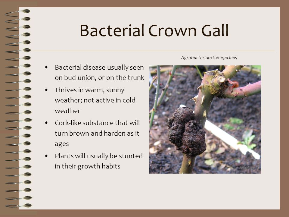 Bacterial Crown Gall Bacterial disease usually seen on bud union, or on the trunk Thrives in warm, sunny weather; not active in cold weather Cork-like