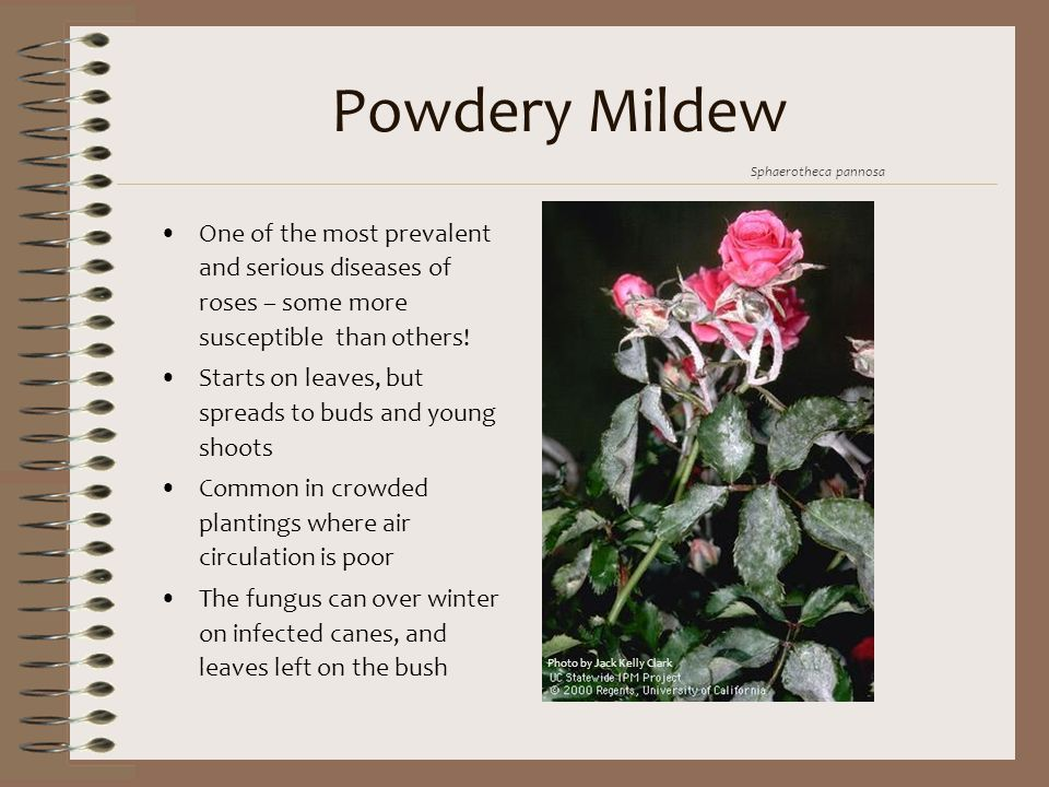 Powdery Mildew One of the most prevalent and serious diseases of roses – some more susceptible than others! Starts on leaves, but spreads to buds and