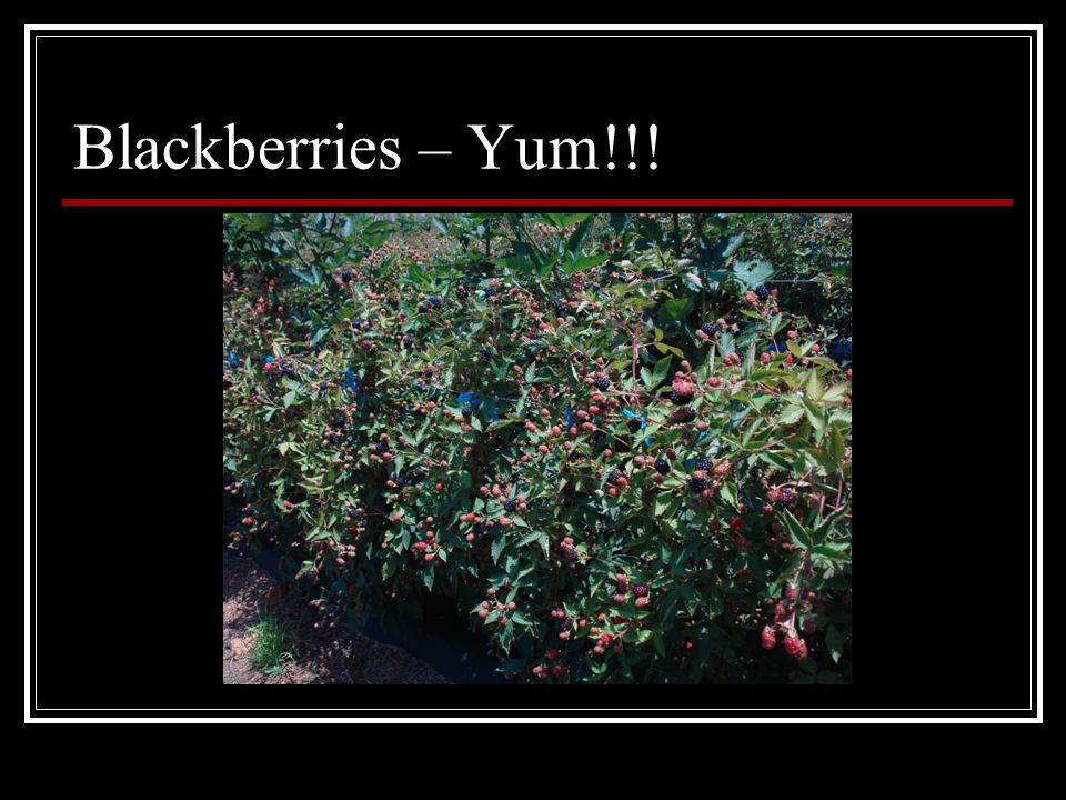 Blackberries – Yum!!!