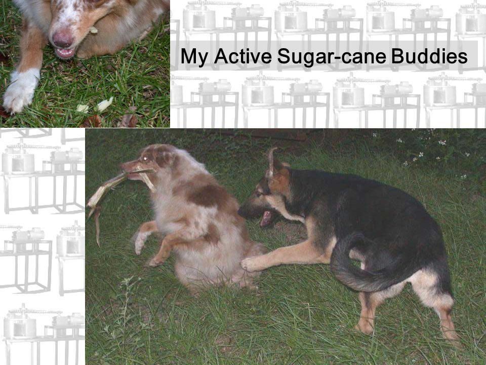 My Active Sugar-cane Buddies