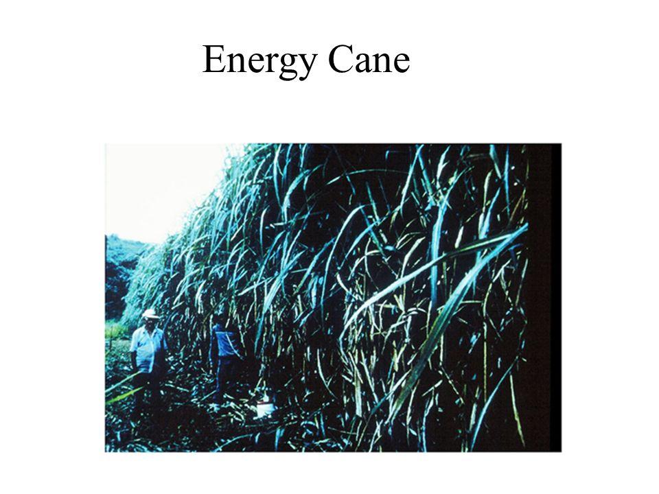 Energy Cane