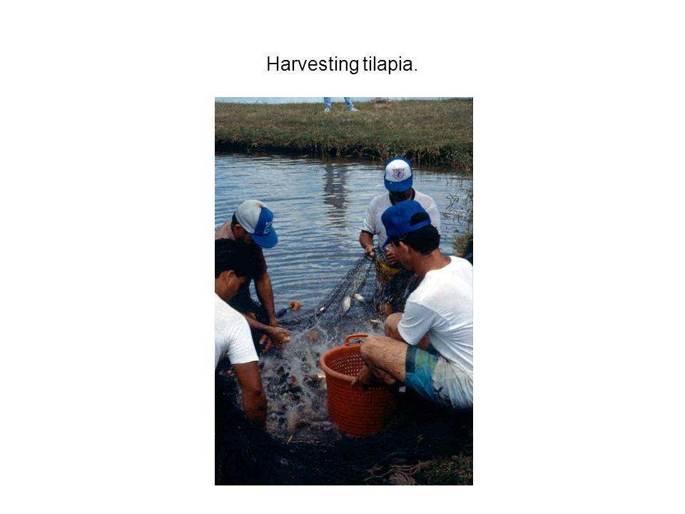 Harvesting tilapia.