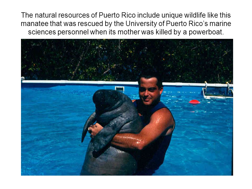 The natural resources of Puerto Rico include unique wildlife like this manatee that was rescued by the University of Puerto Rico's marine sciences per