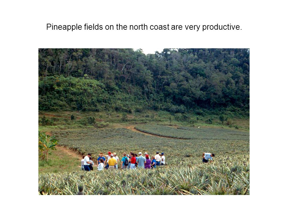 Pineapple fields on the north coast are very productive.