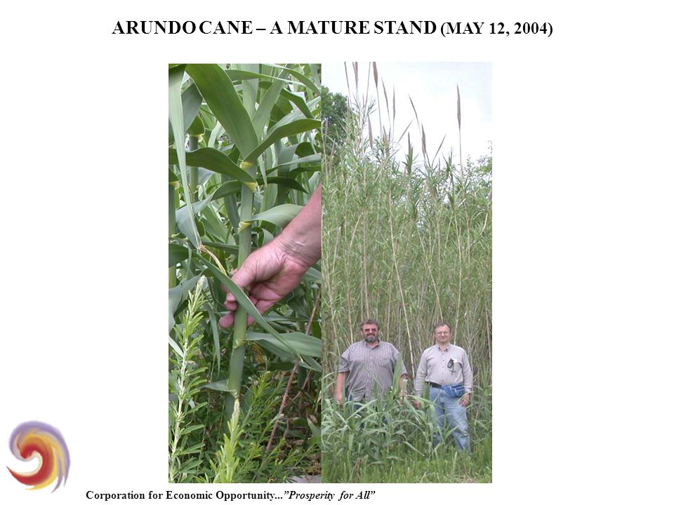 Corporation for Economic Opportunity... Prosperity for All ARUNDO CANE – A MATURE STAND (MAY 12, 2004)