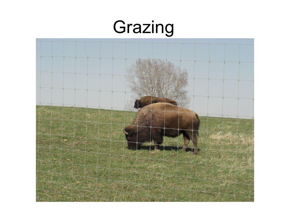 Grazing