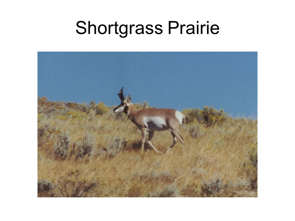 Why grass in grasslands.What adaptations do grasses have to drought.