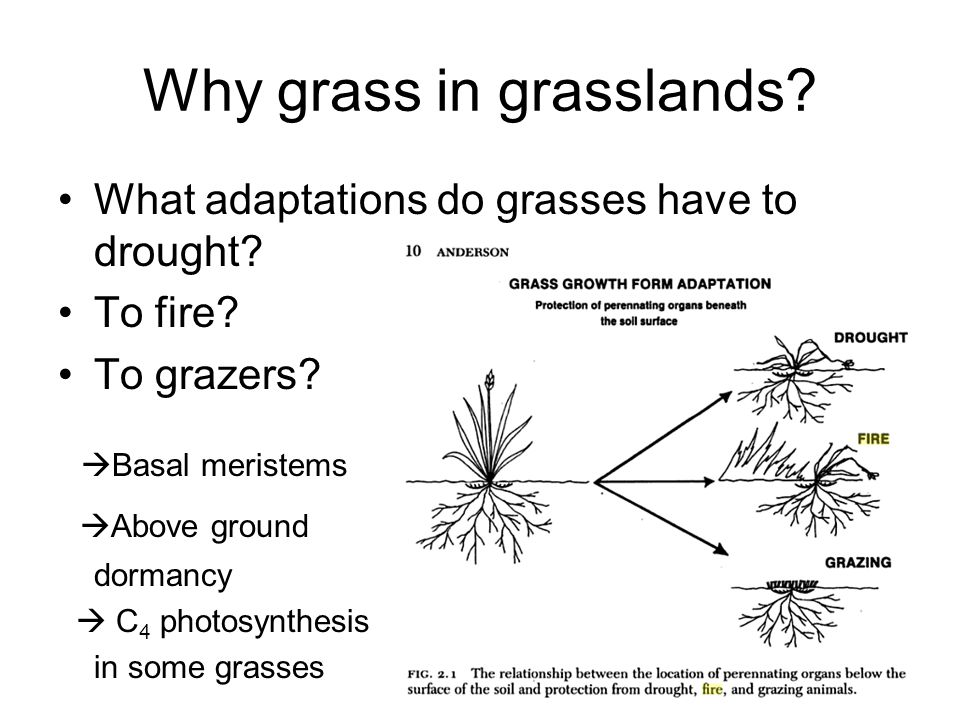 Why grass in grasslands. What adaptations do grasses have to drought.