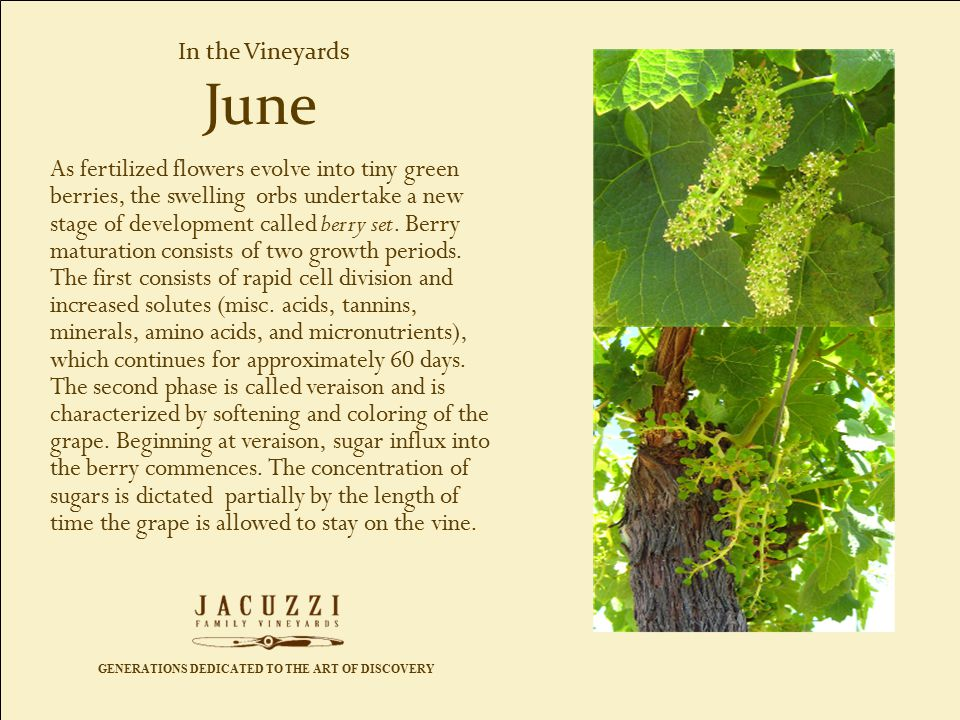 GENERATIONS DEDICATED TO THE ART OF DISCOVERY In the Vineyards As fertilized flowers evolve into tiny green berries, the swelling orbs undertake a new stage of development called berry set.