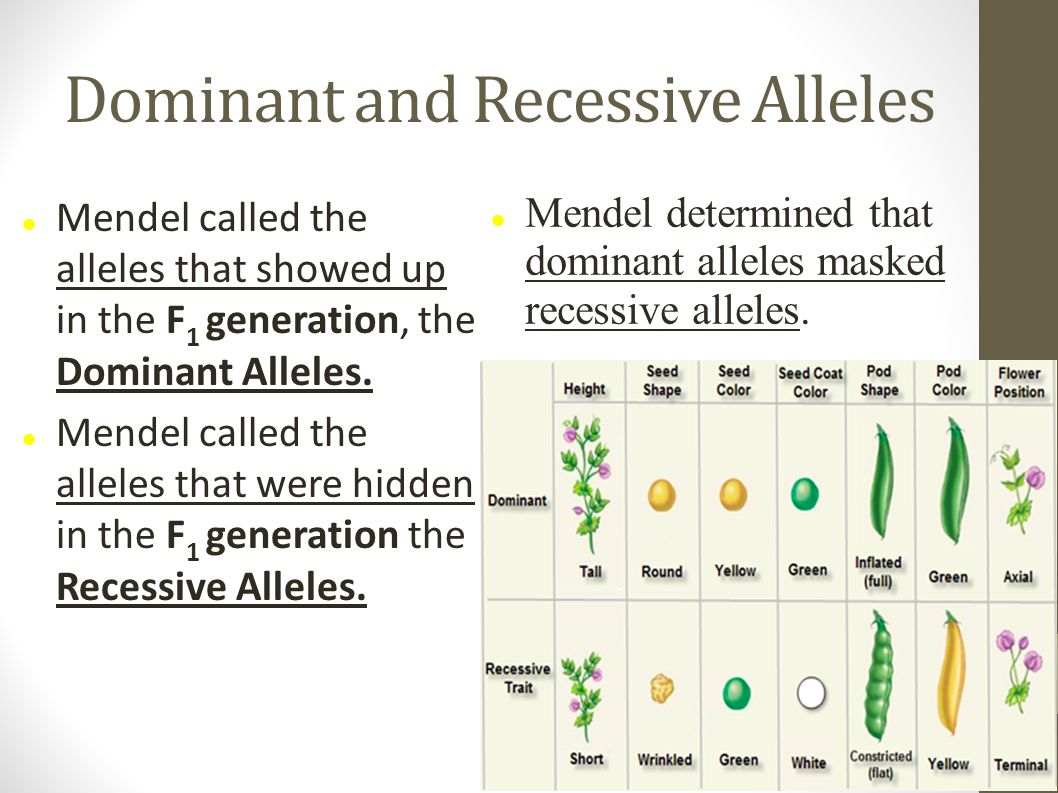 Dominant and Recessive Alleles Mendel called the alleles that showed up in the F 1 generation, the Dominant Alleles. Mendel called the alleles that we