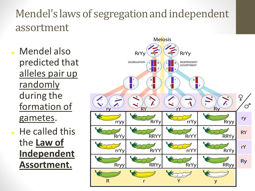 Mendel's laws of segregation and independent assortment Mendel also predicted that alleles pair up randomly during the formation of gametes. He called