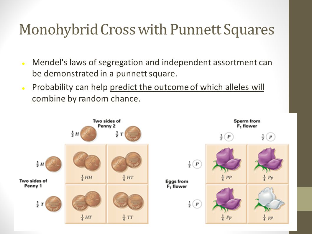 Monohybrid Cross with Punnett Squares Mendel's laws of segregation and independent assortment can be demonstrated in a punnett square. Probability can