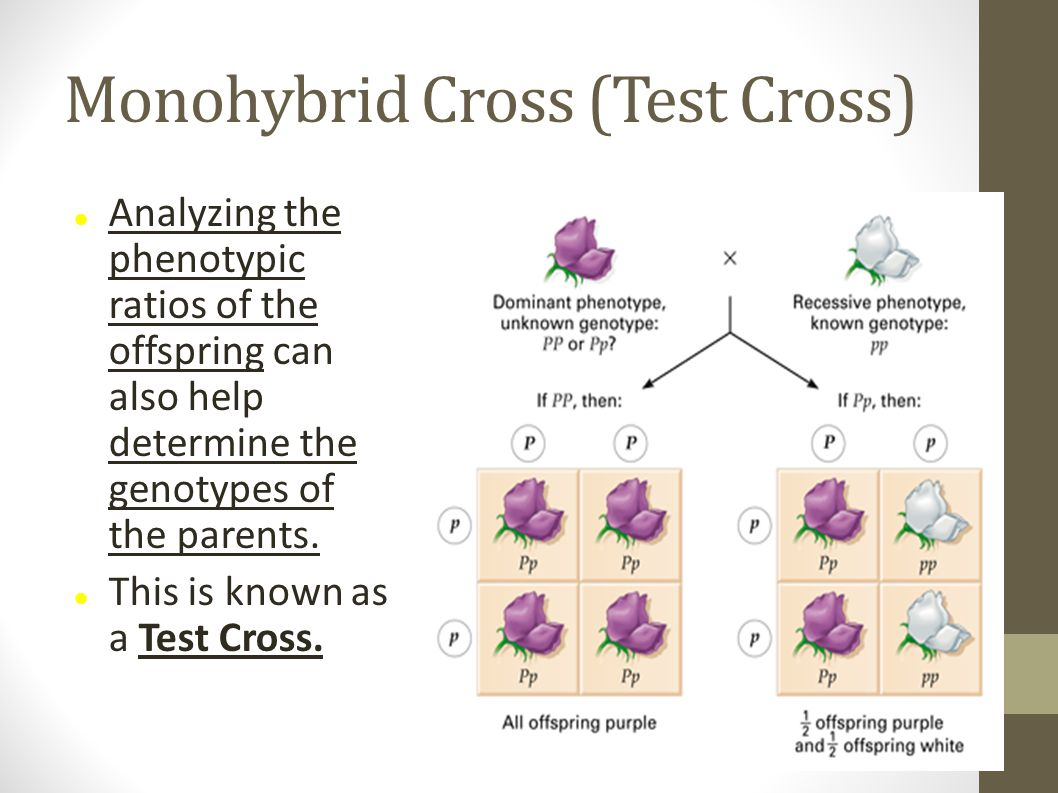 Monohybrid Cross (Test Cross) Analyzing the phenotypic ratios of the offspring can also help determine the genotypes of the parents. This is known as