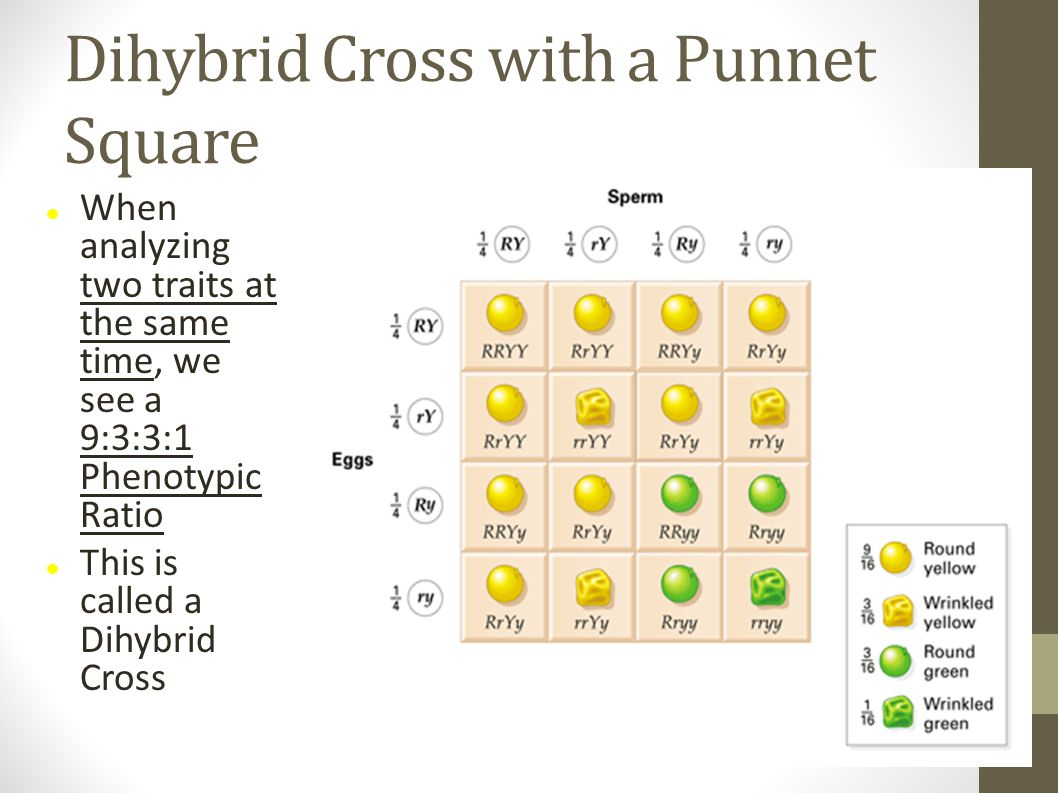 Dihybrid Cross with a Punnet Square When analyzing two traits at the same time, we see a 9:3:3:1 Phenotypic Ratio This is called a Dihybrid Cross