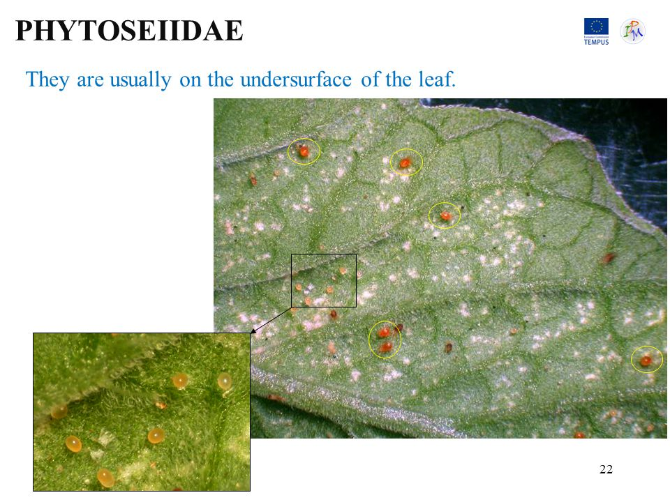 They are usually on the undersurface of the leaf. PHYTOSEIIDAE 22