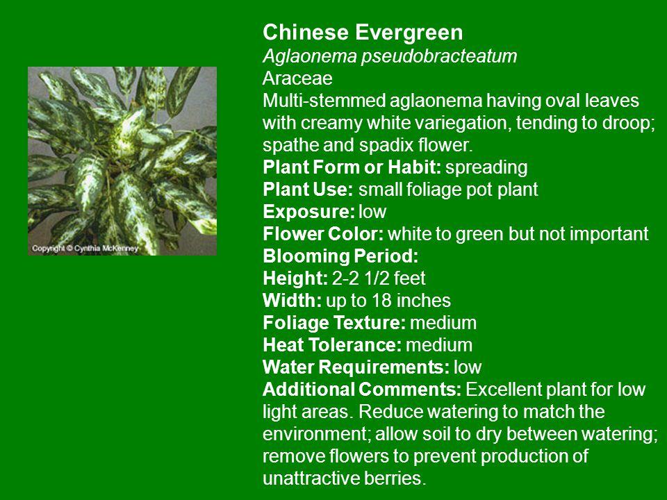 Chinese Evergreen Aglaonema pseudobracteatum Araceae Multi-stemmed aglaonema having oval leaves with creamy white variegation, tending to droop; spath