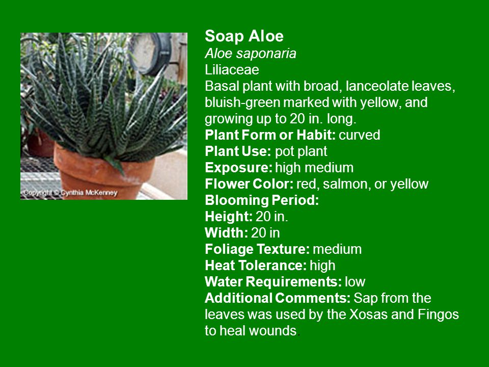 Soap Aloe Aloe saponaria Liliaceae Basal plant with broad, lanceolate leaves, bluish-green marked with yellow, and growing up to 20 in.