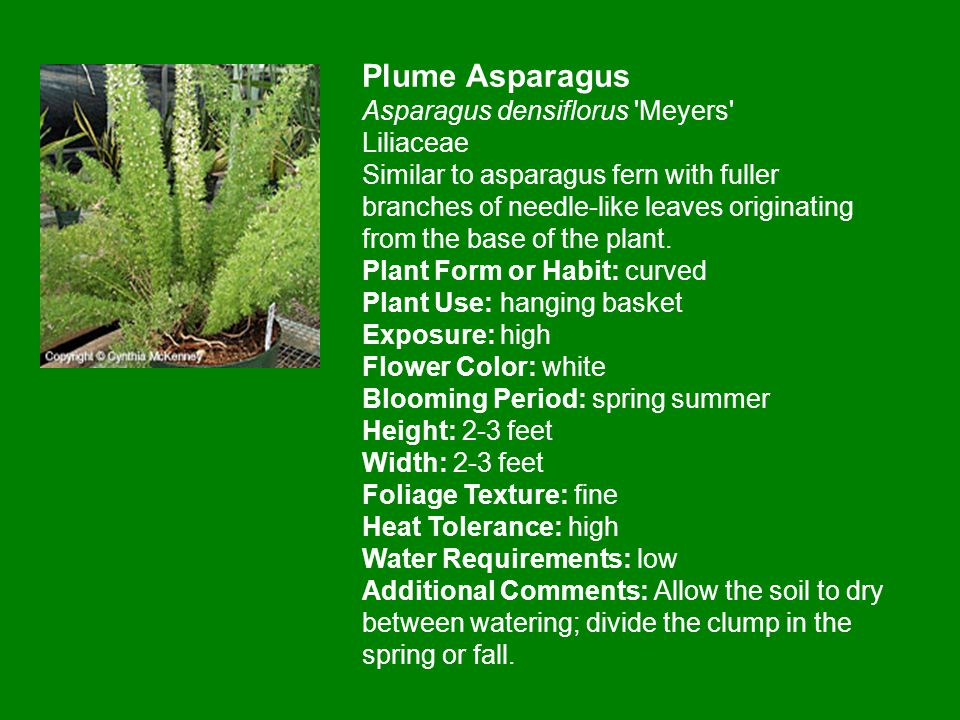 Plume Asparagus Asparagus densiflorus Meyers Liliaceae Similar to asparagus fern with fuller branches of needle-like leaves originating from the base of the plant.