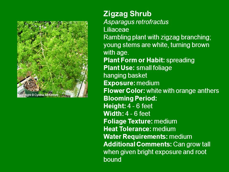 Zigzag Shrub Asparagus retrofractus Liliaceae Rambling plant with zigzag branching; young stems are white, turning brown with age.