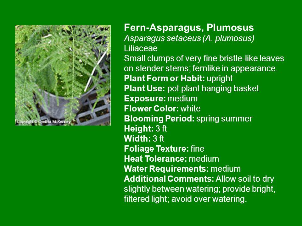 Fern-Asparagus, Plumosus Asparagus setaceus (A.