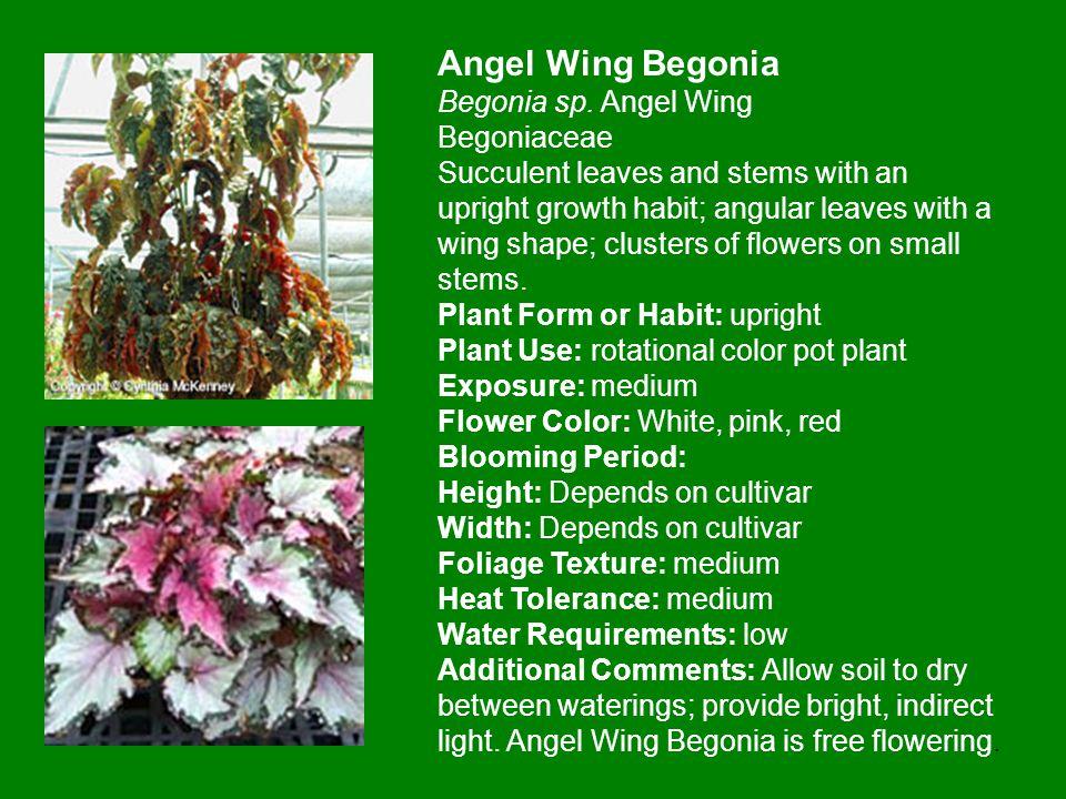 Angel Wing Begonia Begonia sp.