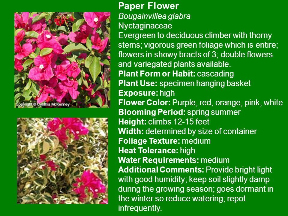 Paper Flower Bougainvillea glabra Nyctaginaceae Evergreen to deciduous climber with thorny stems; vigorous green foliage which is entire; flowers in showy bracts of 3; double flowers and variegated plants available.