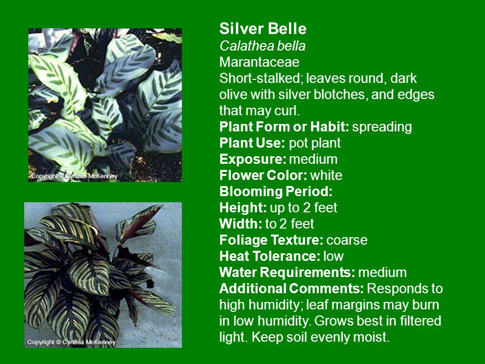 Silver Belle Calathea bella Marantaceae Short-stalked; leaves round, dark olive with silver blotches, and edges that may curl.