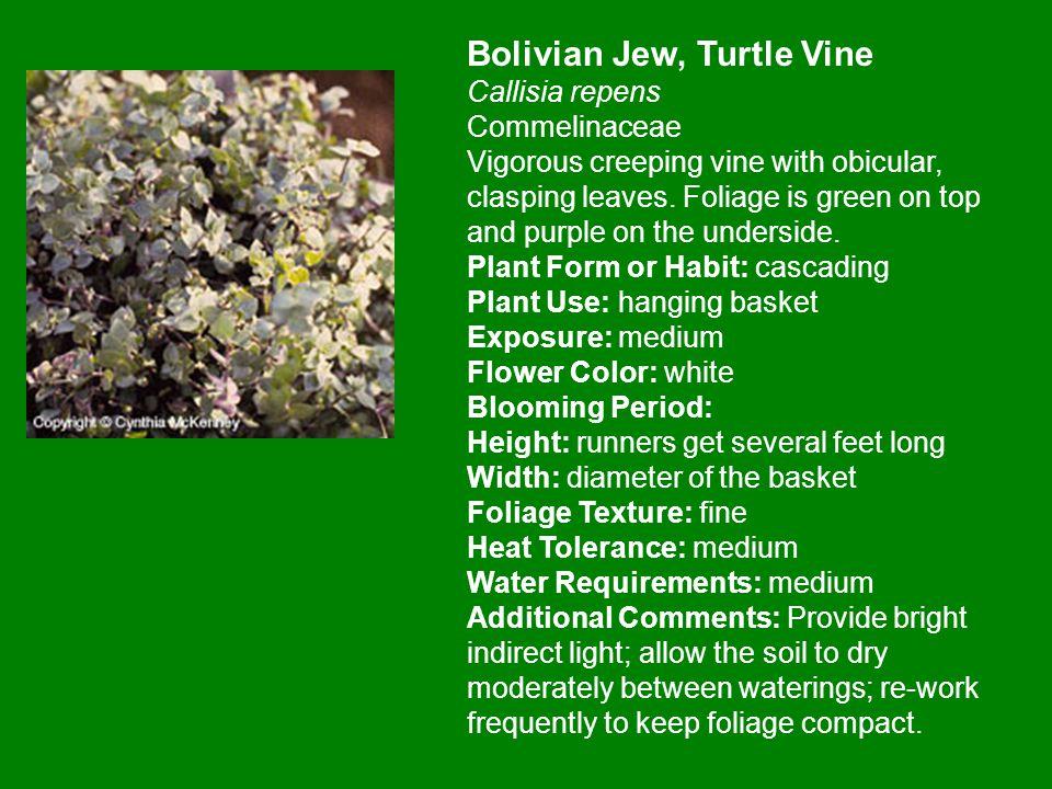 Bolivian Jew, Turtle Vine Callisia repens Commelinaceae Vigorous creeping vine with obicular, clasping leaves.