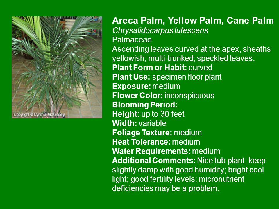 Areca Palm, Yellow Palm, Cane Palm Chrysalidocarpus lutescens Palmaceae Ascending leaves curved at the apex, sheaths yellowish; multi-trunked; speckled leaves.