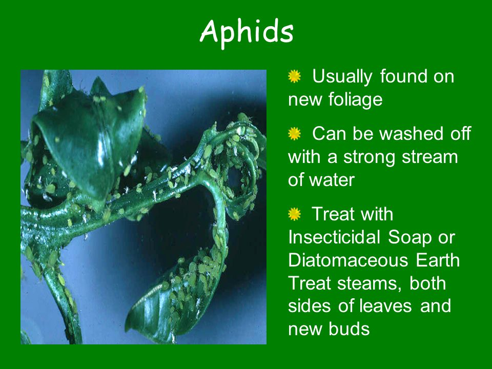 Aphids Usually found on new foliage Can be washed off with a strong stream of water Treat with Insecticidal Soap or Diatomaceous Earth Treat steams, both sides of leaves and new buds