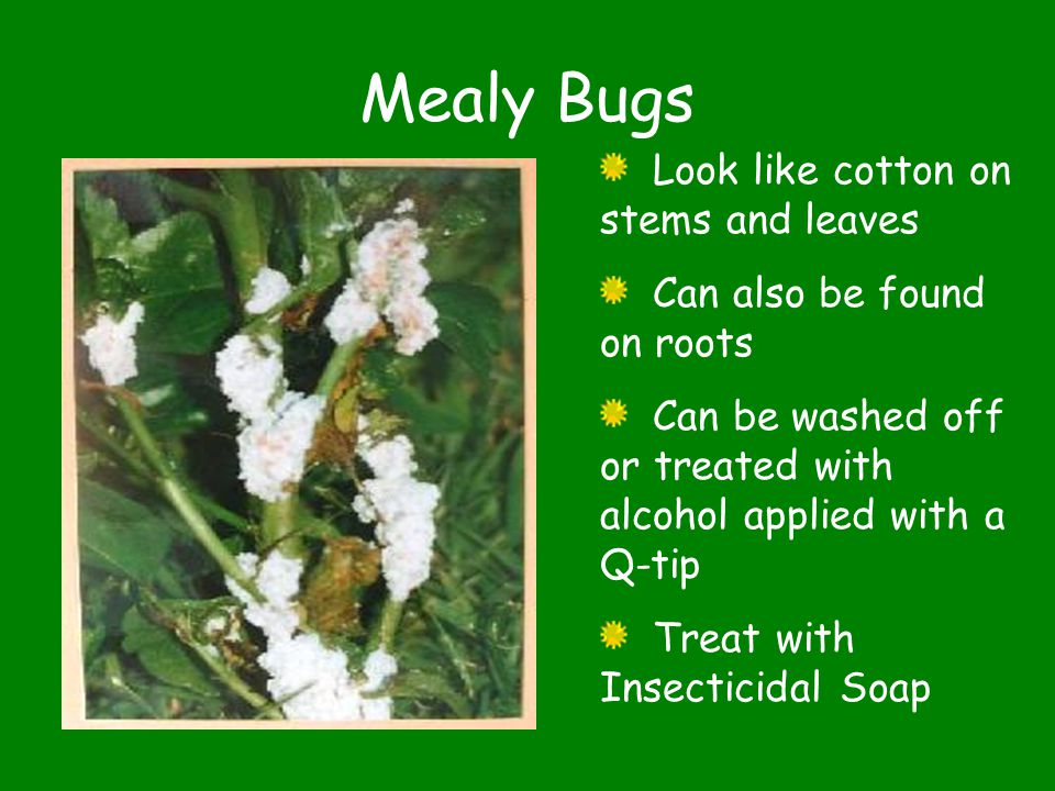 Mealy Bugs Look like cotton on stems and leaves Can also be found on roots Can be washed off or treated with alcohol applied with a Q-tip Treat with Insecticidal Soap