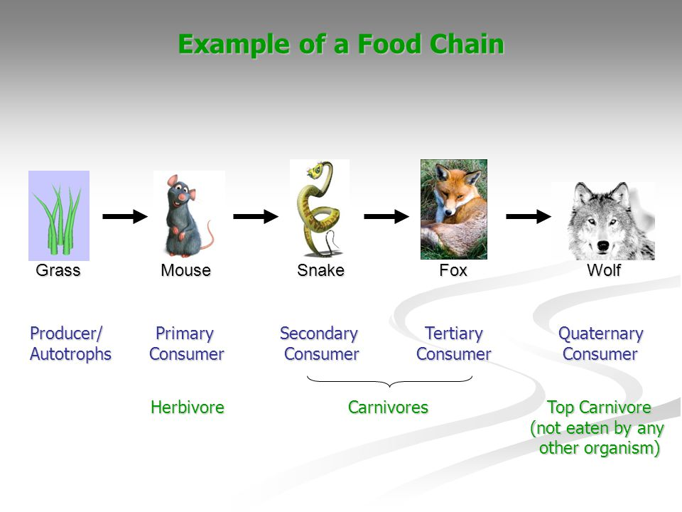 Example of a Food Chain GrassMouseSnakeFoxWolf Producer/AutotrophsPrimaryConsumerSecondaryConsumerTertiaryConsumerQuaternaryConsumer HerbivoreCarnivor