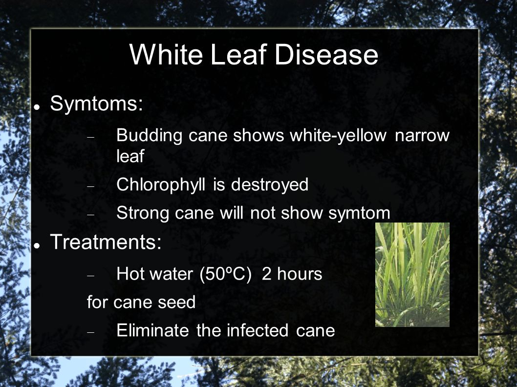 White Leaf Disease Research stage Study Shiva-1 lytic peptide Control the Phytoplasma growing in phloem National Center for Genetic Engineering Funded : National Science and Technology Development Agency