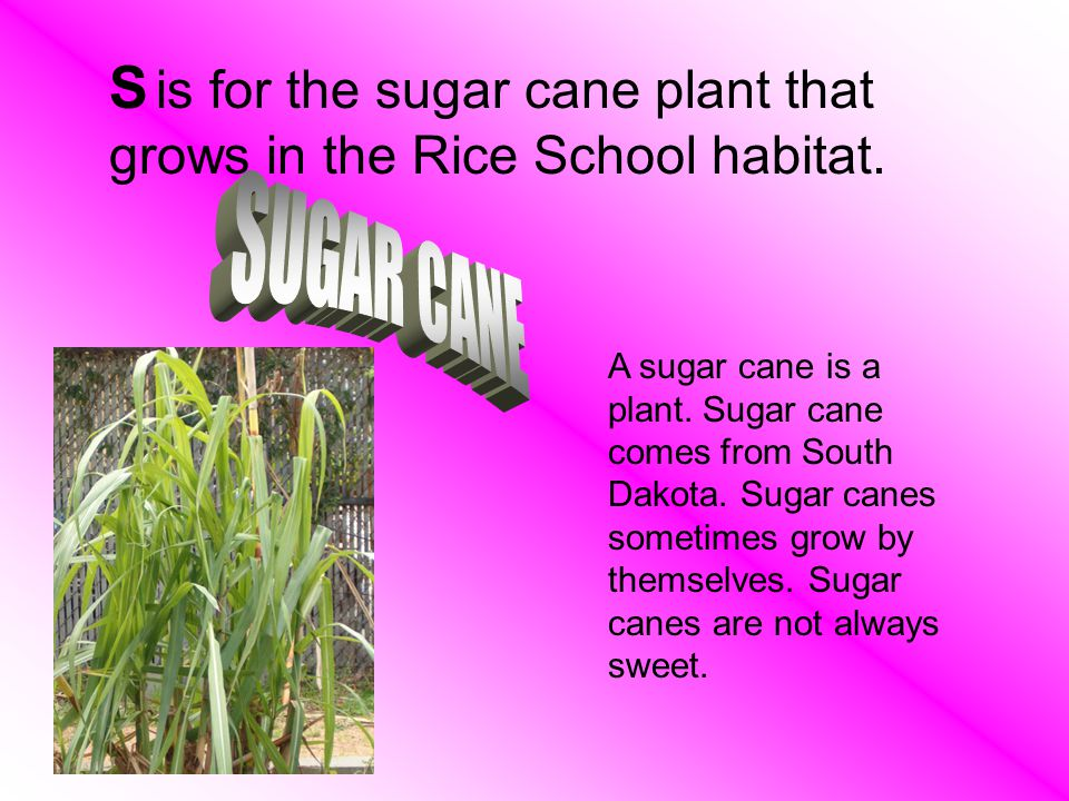 S is for the sugar cane plant that grows in the Rice School habitat.