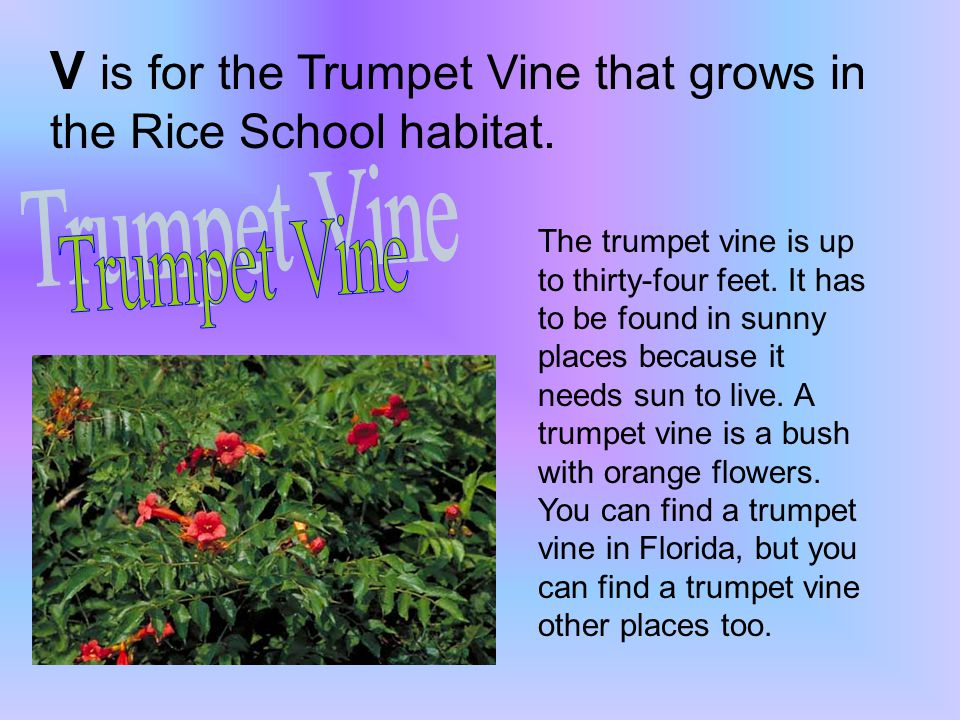 V is for the Trumpet Vine that grows in the Rice School habitat.