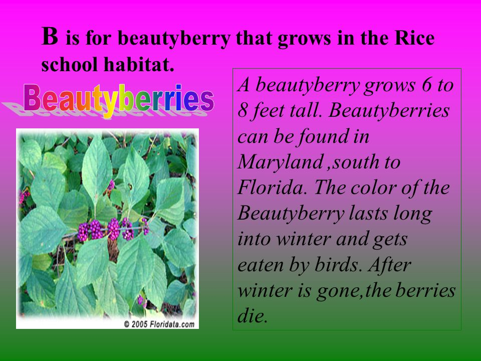 B is for beautyberry that grows in the Rice school habitat.