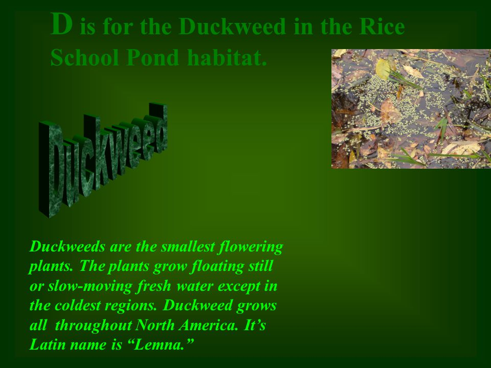 D is for the Duckweed in the Rice School Pond habitat.