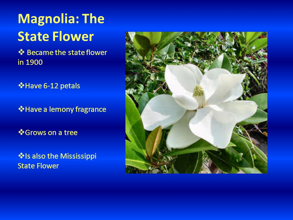 Magnolia: The State Flower  Became the state flower in 1900  Have 6-12 petals  Have a lemony fragrance  Grows on a tree  Is also the Mississippi State Flower