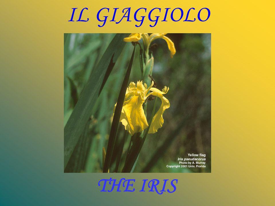 IL GIAGGIOLO THE IRIS