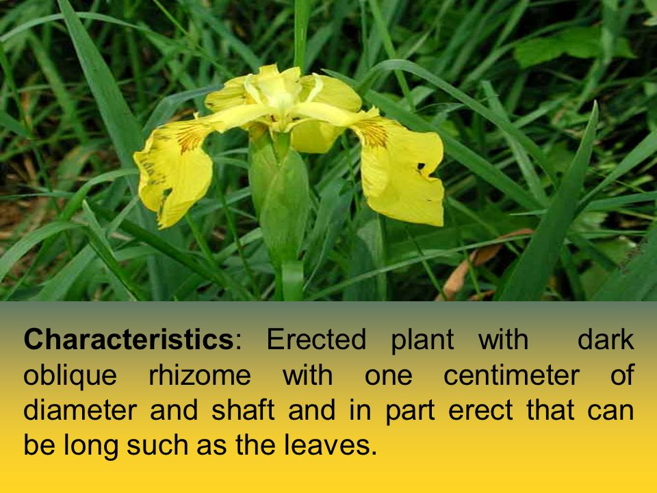 Characteristics: Erected plant with dark oblique rhizome with one centimeter of diameter and shaft and in part erect that can be long such as the leaves.
