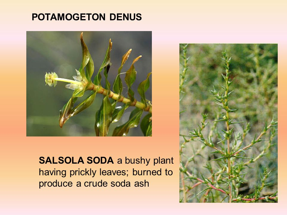 POTAMOGETON DENUS SALSOLA SODA a bushy plant having prickly leaves; burned to produce a crude soda ash