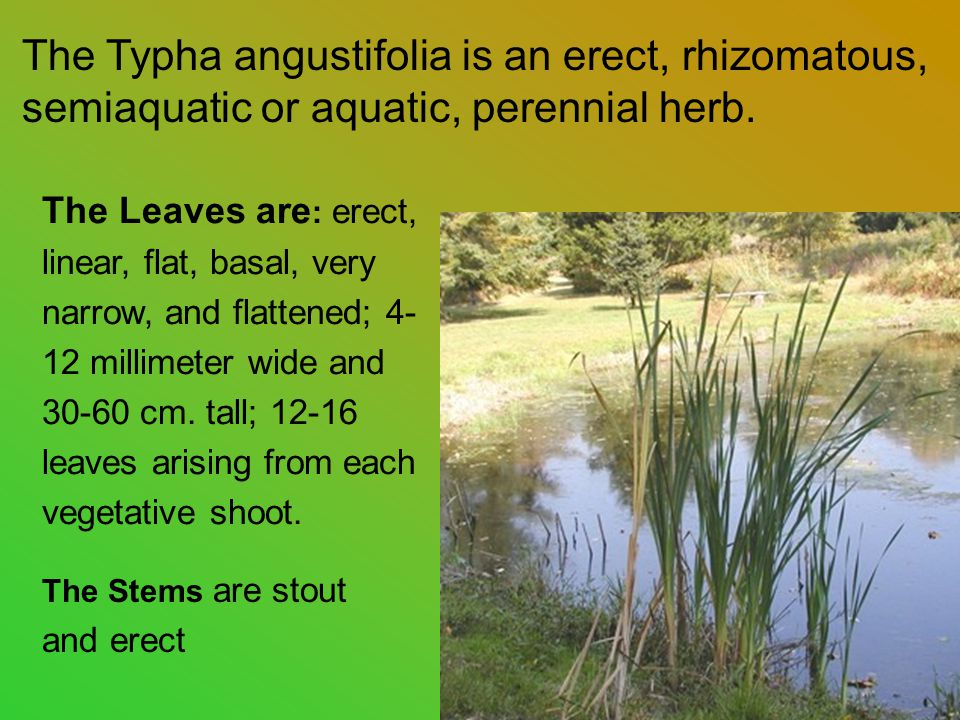 The Typha angustifolia is an erect, rhizomatous, semiaquatic or aquatic, perennial herb.